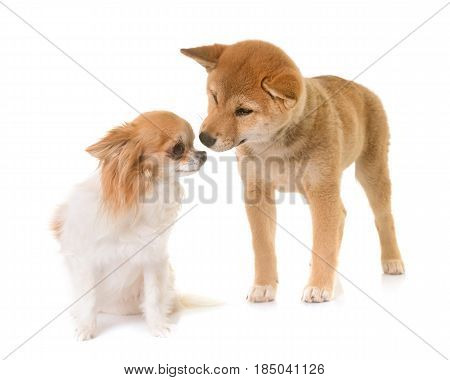 puppy shiba inu and chihuahua in front of white background