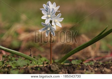 Puschkinias (striped Squill) In Full Bloom In March