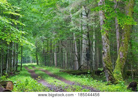 Straight ground road leading across misty late spring deciduous stand with old trees by, Bialowieza Forest, Poland, Europe