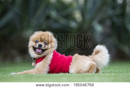 pomeranian pure bred dog on green grasso