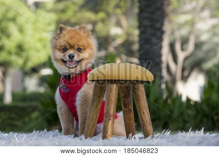 Pomeranian On Green Gass
