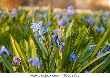 Blue Siberian Squill Flowers Blooming In A Park In Spring At Sunset