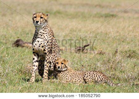 A female cheetah (Acinonyx jubatus) with her half-grown cub. Ol Pejeta Conservancy Kenya.