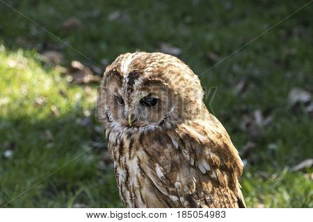Tawny Owl photographed with green nature as backdrop sun from behind. The tawny owl or brown owl is a stocky medium-sized owl commonly found in woodlands across much of Eurasia. Its underparts are pale with dark streaks and the upperparts are either brown