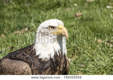 Close up photography of a Bald Eagle. The bald eagle is a bird of prey found in North America. A sea eagle it has two known subspecies and forms a species pair with the white-tailed eagle. Scientific name: Haliaeetus leucocephalus Wingspan: 1.8 - 2.3 m Ma