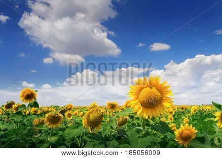 young sunflowers / young sunflower with defocused background Ukraine
