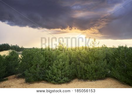 sunset over the trees in the forest / bright spring photo of the coniferous forest