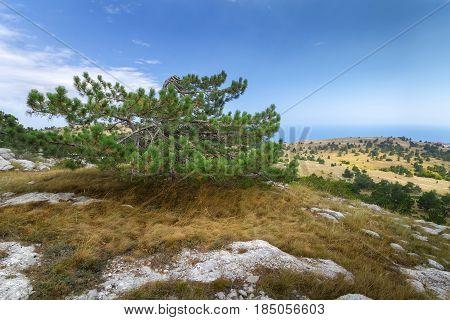 fir on the mountain AI-Petri / daylight picture summer Crimea