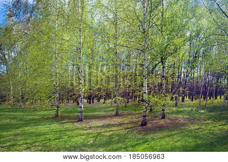 Birch grove in the spring landscape background
