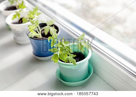 Seedlings of tomatoes on a sunny windowsill