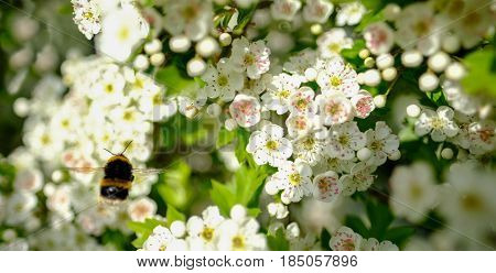 Bumblebee hovering on hawthorn blossom in Spring, closeup shot.