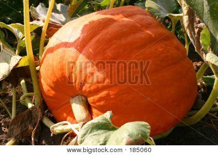 Larg Pumpkin