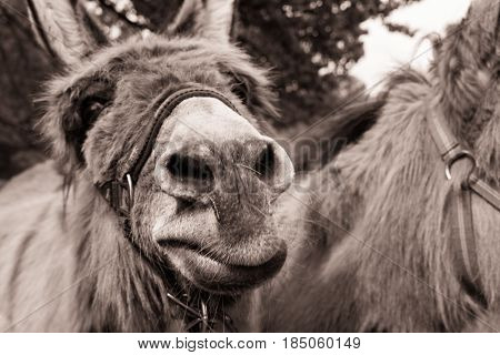 Close-up of a Donkey  at a funny Moment. Donkey(Equus africanus asinus)