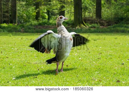 Egyptian Goose (Alopochen aegyptiaca) with outspread wings. Close-up of a Egyptian Goose on a green Meadow. Animals in the Wild