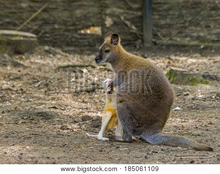 Red-necked or Bennett's wallaby - Macropus rufogriseus - mother and the albino kid