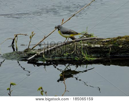 Grey wagtail with food for its young ones
