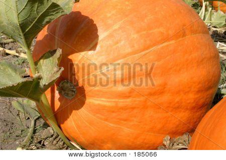Large Pumpkin