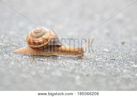 Little snail crawling on roadside after rain. Snail in the natural wetland habitats