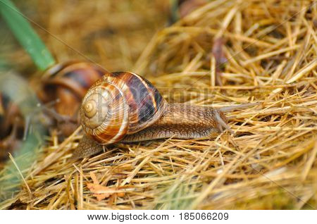 Little snail crawling on grass in garden after rain. Snail in the natural wetland habitats