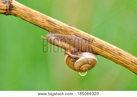 Snail crawling up the stem after rain. Snail in the natural wetland habitats