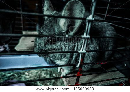 Beautiful Gray chinchilla in a home room. Close-up shooting