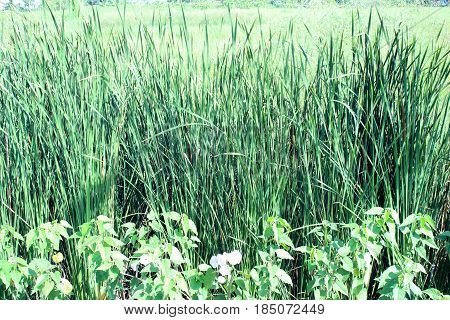 Many plants season spread by seed and root out the clause about two meters long hairy leaves 10-30 cm wide and 1 -1.5 cm around the hairs. Flower is a flower bouquet 10-20 cm flowering throughout the year like soils drain poorly. Found along the fields an