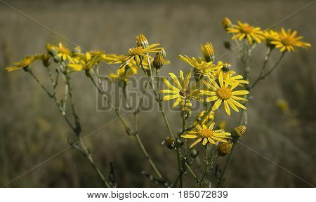 Chamomile, yellow chamomile, daisies, yellow daisies. Yellow daisies on the field. Natural background. Flower, yellow flowers. Steppe flowers.