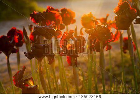 Irises In Late Sunset Lighting