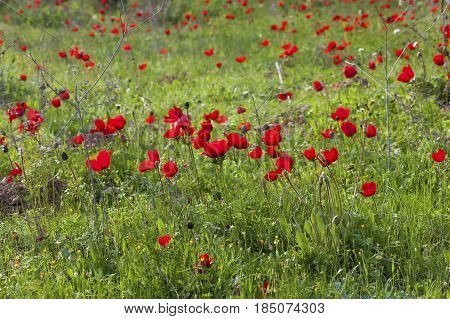 Green Meadow With Red Anemones
