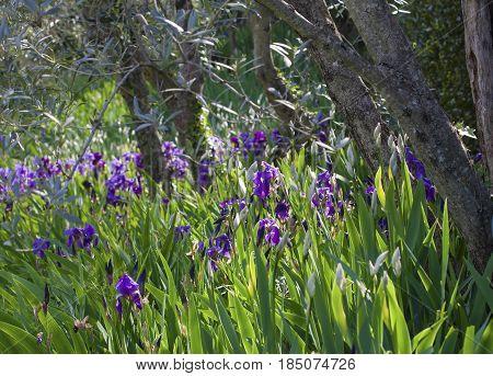 Wild Growing Irises