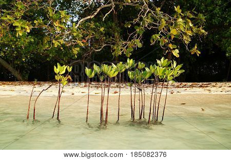Mangrove forest start form here; Planting mangrove
