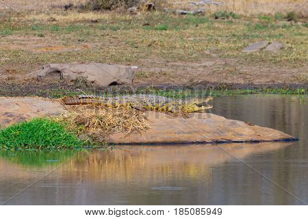 Crocodile From South Africa, Kruger National Park. Africa