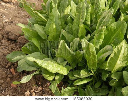 Sour weed plant grown in organic environment, sorrel plant, sour weed plant on the field