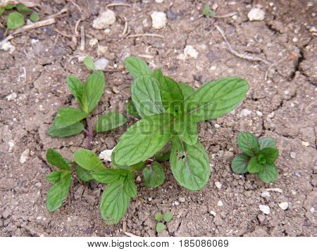 Pictures of mint plants spontaneously grown in natural environment