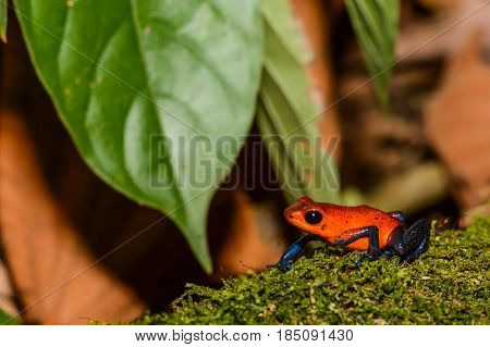 A close up of a Strawberry Poison Dart Frog