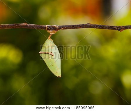 Chrisalis Of The Common Archduke Buttterfly  ( Lexias Pardalis Jadeitina ) Hanging On Twig