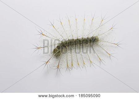 Caterpillar Of The Common Archduke Buttterfly In Dorsal View