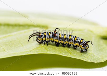Caterpillar Of Plain Tiger Butterfly Eating Leaf