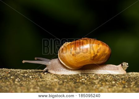 Snail walking to find food on concrete wall