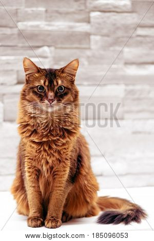 Sitting cat. Full body sitting somali cat pet portrait on white background. Somali cats are closely related to abyssinian cats, the main difference being the fur length. They are often called