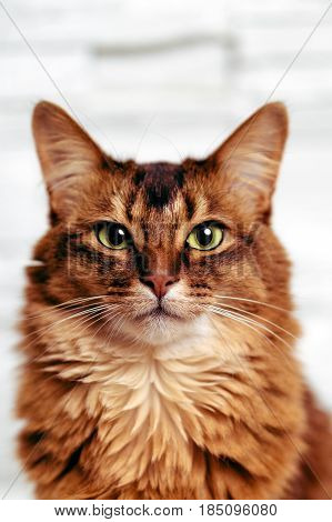 Headshot portrait of a beautiful ruddy somali female cat staring directly at the camera. Somali cats are closely related to abyssinian cats, they main difference being the fur length. They are often called