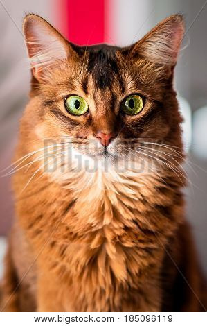 Somali Cat Portrait. Beautiful green eyed female somali cat staring directly at the camera.