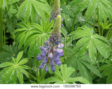 Flowering purple lupin stalk in a garden with dew on it's leaves.