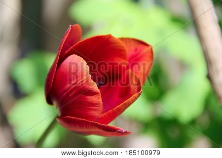 one red tulips in the garden. photo