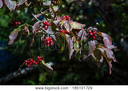 Branch of a Hawthorn Tree with red berries.