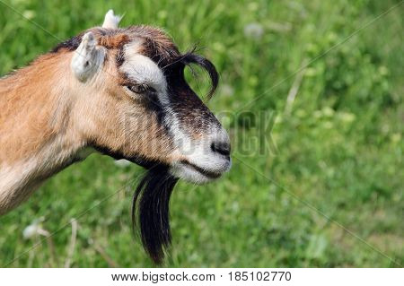 goat in a meadow on thr grass. photo