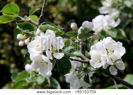 apple tree with big white flower. photo