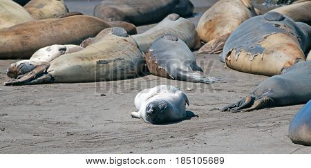 Young Baby Northern Elephant Seal amid molting adults at Piedras Blancas Elephant Seal colony on California Central Coast USA