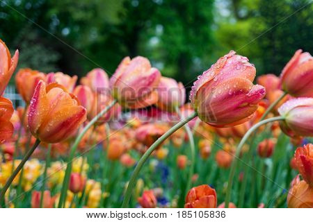 Raindrops on a Orange Flower. Close-up of a Tulip (Tulipa) on a rainy Day.  Raindrops on a Orange Tulip. A Field full of Orange Flowers. Garden Flowers. Spring Flowers