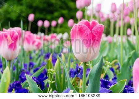 Pink, tulips, tulipa, Lilioideae, flowers, beauty, blooming, field, nature, plants, colors, colours, colourful, outdoor, raindrops, rainy, garden, green, background,  spring, close-up,Liliales